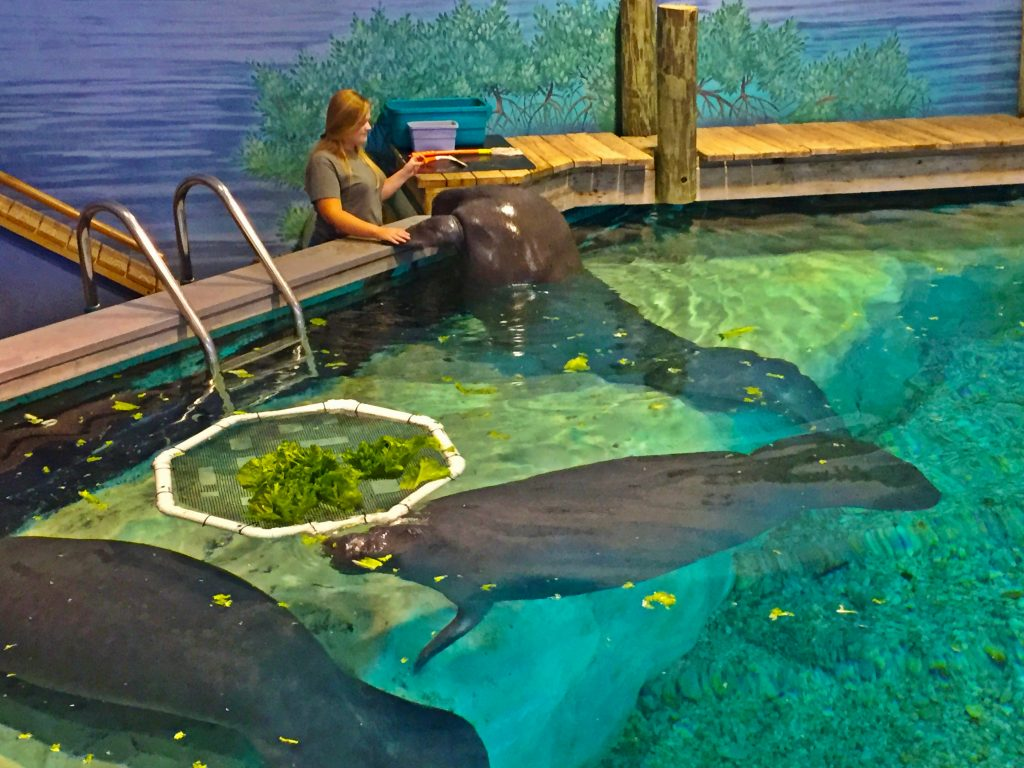 Manatees in Bradenton, Florida