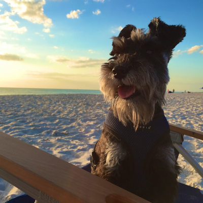 A Pup Star is Born: My Mini Schnauzer Appears on the Travel Channel